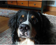 Riley the Bernese mountain dog Group Dog Training Class Review - Manners I