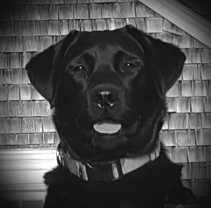 Poppy the black lab day training review
